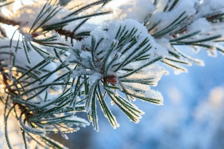 Pine tree needle in winter